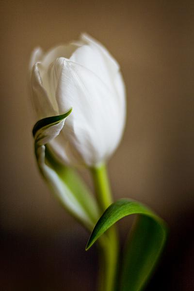 tulipan_7456